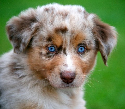 1000 images about puppies on pinterest australian shepherd aussies and australian shepherd. Black Bedroom Furniture Sets. Home Design Ideas
